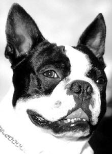 Kopfstudie Bosten Terrier