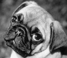 Hundekopf - brachycephal