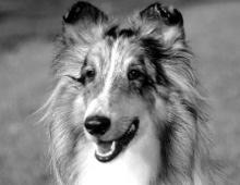 Hundekopf - dolichocephal