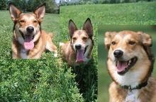 Bewegliche Ohren des Hundes