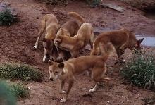 Hunde leben in Rudeln in natürlicher Umgebung