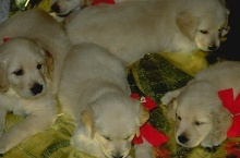 Hundezucht - selber Hundewelpen züchten