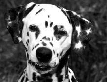 Hundekopf - mesocephal